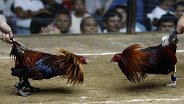 5 Tips Cara Agar Selalu Menang Taruhan Sabung Ayam Online