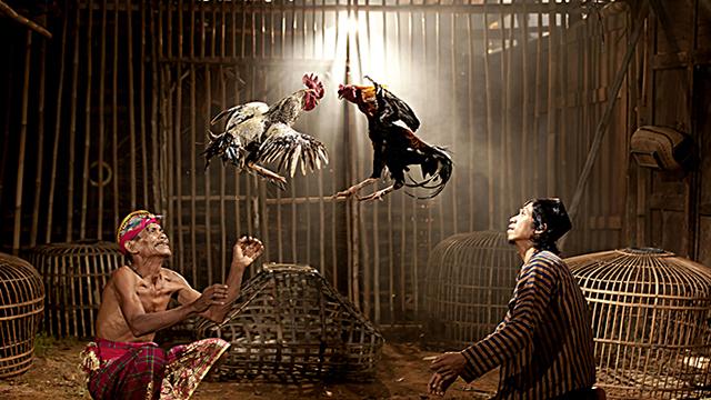 Situs Sabung Ayam Online Di Indonesia