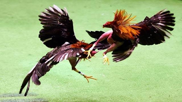 Permainan Adu Ayam Bangkok
